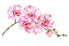 Pink moth orchid Phalaenopsis flower on a twig. Isolated on white background. Watercolor painting. Hand drawn.  royalty free illustration
