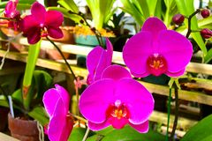 Pink Moth Orchids stock images