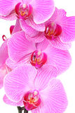 Pink Moth Orchids Royalty Free Stock Images