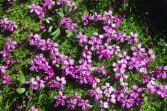 Pink mountain flower Stock Image