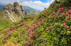 Pink mountain flowers and geological formations,Ciucas mountains,Romania. Beautiful rhododendron flowers and spring landscape in Ciucas mountains,Romania Stock Images