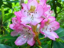 Pink mountain rhododendron flowers Stock Image