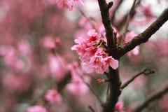 Pink mountain sakula(Cherry blossoms) Royalty Free Stock Image