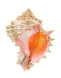 Pink mouthed murex shell Royalty Free Stock Photo