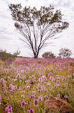 Pink Mulla Mulla Wildflowers blooming in Australian Outback Royalty Free Stock Photos
