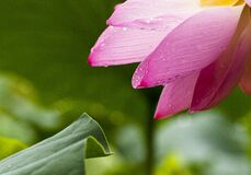 Pink Multi Petaled Flower Near Green Leaf Stock Photo