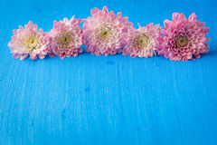 Pink mum (chrysanthemum) flowers on blue textured canvas backgro Stock Photos