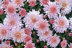 Pink Mums Royalty Free Stock Photography