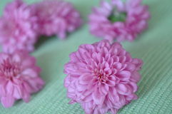 Pink Mums Royalty Free Stock Photos