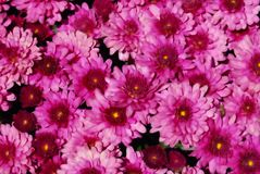 Pink Mums Stock Images