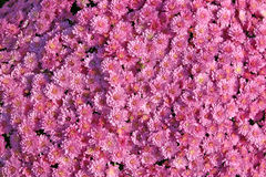 Pink Mums. A large bunch of beautiful pink mums stock image
