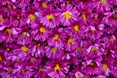 Pink mums background Stock Photos