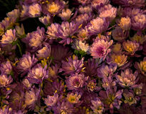 Pink Mums. A bouquet of bright pink and yellow flowering mums Stock Photo
