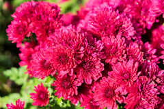 Pink Mums Flower Nature Royalty Free Stock Photo