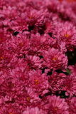 Pink Mums. In full bloom at fall in Rochester Michigan stock photos