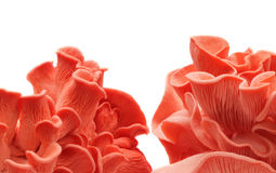 Pink mushrooms Royalty Free Stock Photography