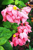 Pink Mussaenda flower Royalty Free Stock Image