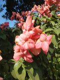 Pink mussaenda flowers. On the tree Stock Image