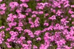 Pink Myosotis alpestris Forget-Me-Not Flowers In Spring garden royalty free stock photos