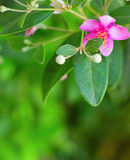 Pink myrtle Royalty Free Stock Photos