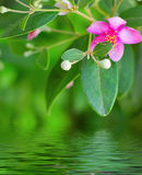 Pink myrtle Stock Images