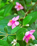 Pink myrtle. Flower with foliage stock photos