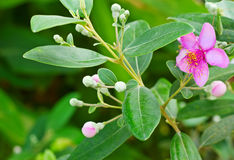 Pink myrtle. Flower with foliage royalty free stock photo