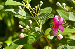 Pink myrtle Stock Photography