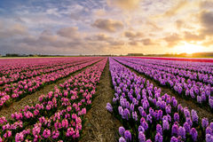 Pink `n Purple. A field of pink and purple hyacinth flowers in the evening Stock Images