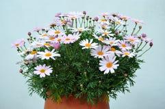 Pink natural chrysanthemums Royalty Free Stock Images