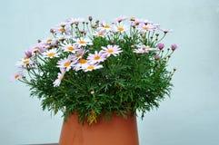 Pink natural chrysanthemums Stock Photo