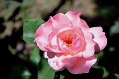 Pink in natural light Royalty Free Stock Photo