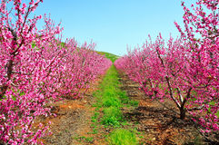 Pink Nectarine Trees, Israel. Pink leaved Nectarine trees in the Golan Heights, Israel Stock Photography