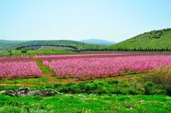 Pink Nectarine Trees, Israel. Pink leaved Nectarine trees in the Golan Heights, Israel Royalty Free Stock Images