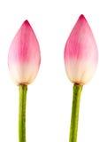 Pink Nelumbo nucifera flowers, close up, isolated, white background. Stock Image