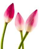 Pink Nelumbo nucifera flowers, close up, isolated, white background. Royalty Free Stock Photos