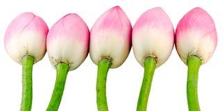 Pink Nelumbo nucifera flowers, close up, isolated, white background. Royalty Free Stock Photo