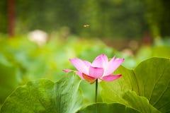 Pink nelumbo nucifera gaertn blossom lotus Royalty Free Stock Photography