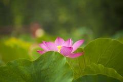 Pink nelumbo nucifera gaertn blossom lotus Royalty Free Stock Image
