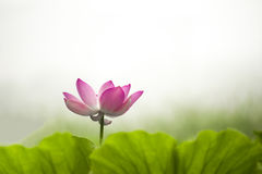 Pink nelumbo nucifera gaertn blossom lotus Stock Photography