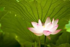 Pink nelumbo nucifera gaertn blossom lotus Stock Image