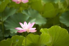 Pink nelumbo nucifera gaertn blossom lotus Royalty Free Stock Photos