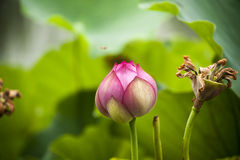 Pink nelumbo nucifera gaertn lotus bud Royalty Free Stock Photo