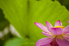 Pink nelumbo nucifera gaertn lotus Stock Images