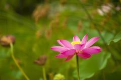 Pink nelumbo nucifera gaertn lotus Stock Photos