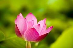 Pink nelumbo nucifera gaertn lotus Royalty Free Stock Photos