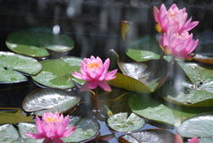 A pink nenuphar on the lake Stock Photography