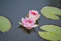 A pink nenuphar on the lake Royalty Free Stock Photography