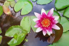 Pink nenuphar or water lily in pond. Red nenuphar or water lily in pond Stock Photos