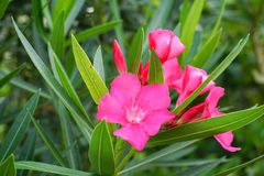 Pink Nerium oleander flower. In nature garden Royalty Free Stock Images